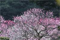 ウメジロー。in ピンク。 - Season of petal