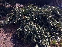 三月日記:月桂樹のルビーロウムシ - 世話要らずの庭