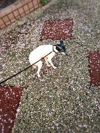 散り際 - 日本テリア 犬目堂
