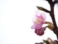 河津桜咲き始め3月7日 - 風まかせ、カメラまかせ