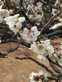 梅の花 - 空色のココロ~小さな幸せを探して~