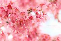 早咲きのみやび桜が咲いていました(^^♪ - 自然のキャンバス