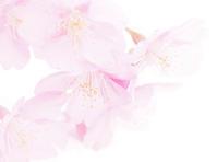 桜便り第1便は河津桜です - スポック艦長のPhoto Diary