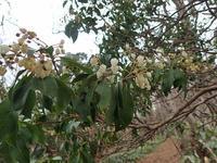 蕗の薹 - 清治の花便り