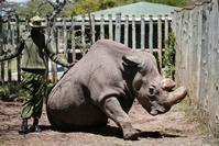 心配される地球最後のキタシロサイのオスのスーダンの病状 - 親愛なる犀たちへ