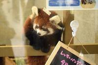 蔵出し野花ちゃん・その1 - レッサーパンダ☆もふてく放浪記