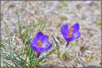 春の息吹 - caetla