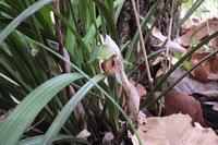 ■シュンランが盗掘された18.3.11 - 舞岡公園の自然2