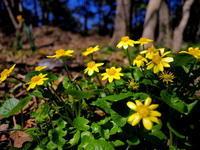 春植物・キクザキリュウキンカ 2018 - 野路の花散策
