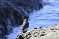 イソヒヨドリの観察 - 野の鳥  撮る録 in湘南