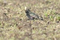 今季2回目のホシムクドリ - 近隣の野鳥を探して