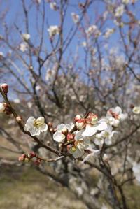 春本番の空 〜八分咲きの梅の花〜 - CROSSE 便り