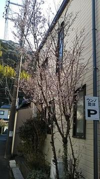 お休みのお知らせ&啓翁桜 - ウンノ整体と静岡の夜