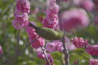 ●● ここで待機してる方がどれ程マシか・・・・・・・・八重咲きにメジロ ●● - kameのフォトブック2