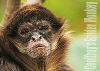 ジェフロイクモザル:Geoffroy's Spider Monkey - 動物園の住人たち写真展(はなけもの写眞店)