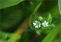 ハコベ・かわいいヤマガラちゃん。 - Season of petal
