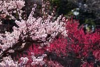 大阪城の梅林@2018-03-10 - (新)トラちゃん&ちー・明日葉 観察日記