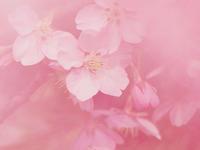 河津桜をいろいろな写し方で撮影 - スポック艦長のPhoto Diary