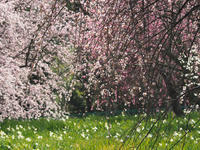 リサイクル環境公園の梅  ~今年の梅だより(中編) - 模糊の旅人