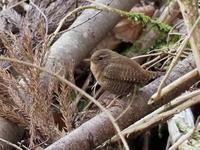 四季の森でミソサザイと遭遇 - コーヒー党の野鳥と自然 パート2