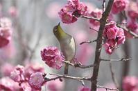 ●● そうそう都合良くは・・・・・・・八重咲きにメジロ(2) ●● - kameのフォトブック2
