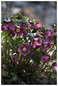 春の花続々と・・・ - natu     * 素敵なナチュラルガーデンから~*     福岡で庭造り、外構工事(エクステリア)をしてます