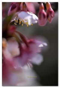寒桜 - toru photo box