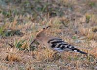 珍鳥「ヤツガシラ」を撮る - AR75TS