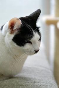長らく出場機会を与えられなかったウチのコ達・シロ子編 - Black Cat Moan