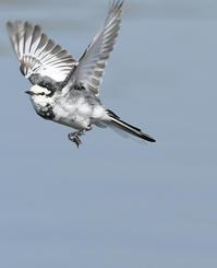 ハクセキレイ・フライイング! - zorbaの野鳥写真と日記
