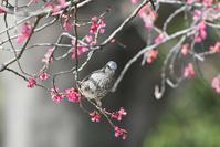 ヒヨドリ - てるっち日記 野鳥編
