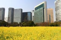 浜離宮庭園菜の花畑 - お散歩写真     O-edo line