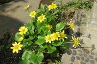 リュウキンカの花が咲いて - 光さんの日常