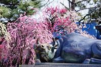 道明寺天満宮の梅の@2018-03-11 - (新)トラちゃん&ちー・明日葉 観察日記
