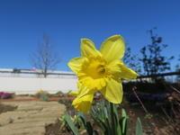 マンション花壇にスイセンが咲きました - ニッキーののんびり気まま暮らし