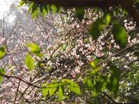 桃色の梅とキブシ - 静かに過ごす部屋