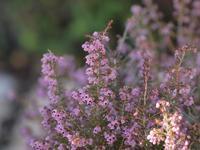 『ジャノメエリカとヒマラヤユキノシタと野の花達~』 - 自然風の自然風だより