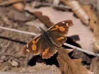 春先のチョウ - コーヒー党の野鳥と自然 パート2