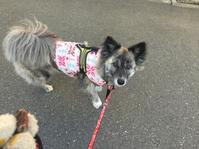 春の花 - 琉球犬mix白トゥラーのピカ
