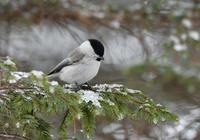 ハシブトガラエゾアカゲラ北海道 - 可愛い野鳥たち 2