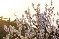 桜咲く - 越の国の四季