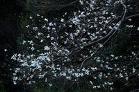 辛夷花樹(マグノリア) - イーハトーブ・ガーデン