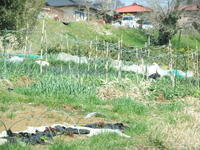 """豆は、無事に成長中です。 - 〔家庭菜園日記〕 """"すろーらいふ"""" 茅ケ崎のはまちゃん. 野菜つくり"""