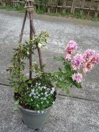 カートマニージョーの寄せ植え・フラックス発芽 - bowerbird garden ~私はニワシドリ~