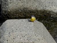 キセキレイ・ホオジロ・・・浅川(八王子)/八王子 - 浅川周辺探鳥散歩