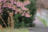 散りゆく河津桜と鳥さんたち♪ - happy-cafe*vol.2