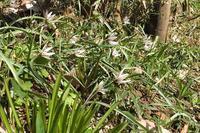 ■アマナ咲く18.3.15 - 舞岡公園の自然2