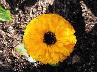 太陽のようなまばゆい花 - 神戸布引ハーブ園 ハーブガイド ハーブ花ごよみ