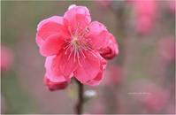 今日のあかい花・鳥はヒヨドリ。 - Season of petal