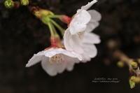 春雨桜 - 猫花雑記